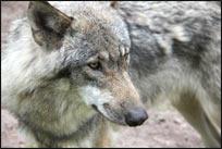 Werbefilm für Wolfsvergrämer produziert.