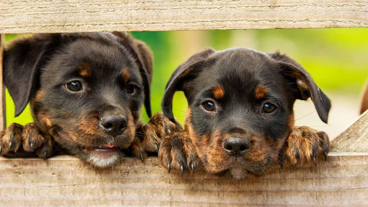 Wir spendeten auch an das Tierheim Viernheim. Bildquelle: https://pixabay.com/de/photos/rottweiler-welpen-hund-hunde-süß-1785760/