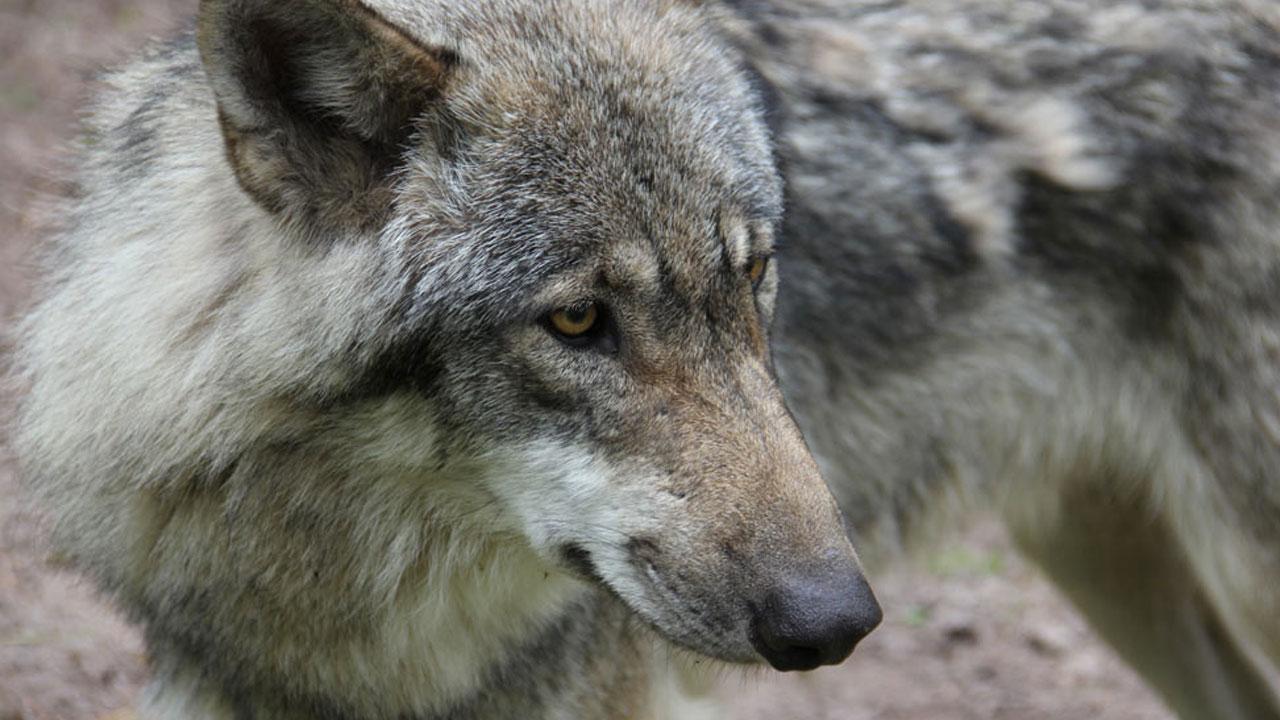 Wir haben einen Produktfilm für einen Wolfsvergrämer erstellt.
